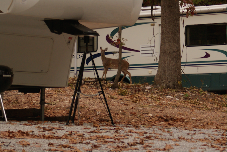 Deer in RV park